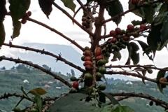 webKaffepflanze vor Nyiragongo-Vulkan